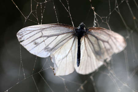 Butterfly in the web