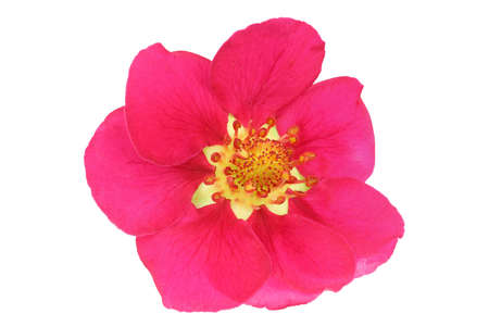 Unusual pink strawberry flower isolated on white. Very detailed