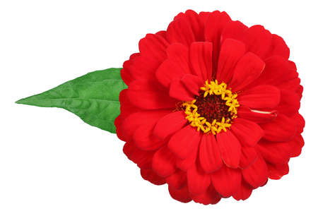 Red zinnia with leaf isolated on white. Very detailed