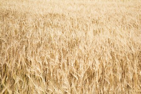 Field of ripe yellow wheat before harvest