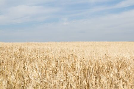Field of ripe yellow wheat before harvest on a blue sky background