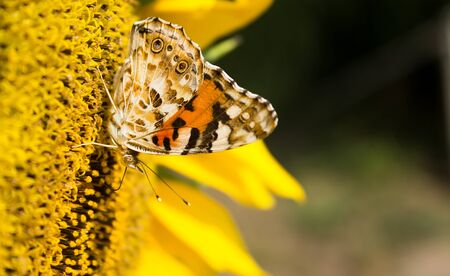 Yellow butterfly on a flower sunflower, close-up