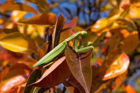 Praying mantis on a background of autumn red and yellow leaves on a tree, background