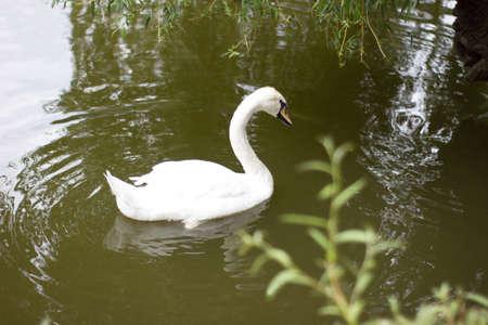 Beautiful white swan on the pond - romantic photo