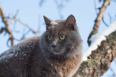 Portrait of fluffy gray cat on a tree with snow in the winter Imagens - 151799494