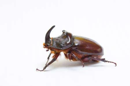 Rhinoceros beetle close up