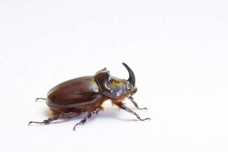 Rhinoceros beetle close up
