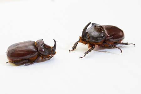 Rhinoceros beetle close up - studio shot, insectoid biology, wild life, male and female