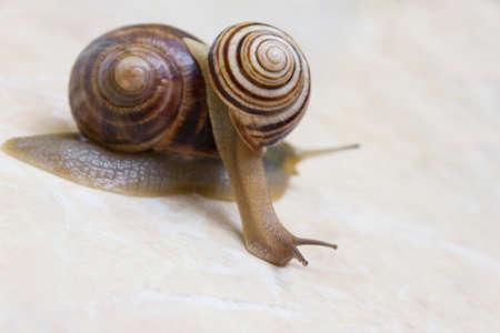Two snail grape close-up - studio shot, biology, wild life, male and female, food Reklamní fotografie
