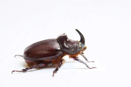 Rhinoceros beetle close up - studio shot, insectoid biology, male, wild life