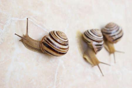 Three snail close-up - studio shot, biology, wild life, male and female, food