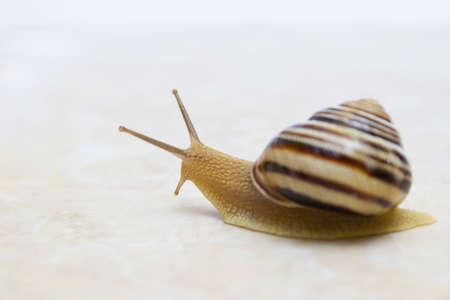 Snail close-up - studio shot, biology, wild life, male and female, food Foto de archivo