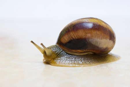Grape snail close-up - studio shot, biology, wild life, male and female, food