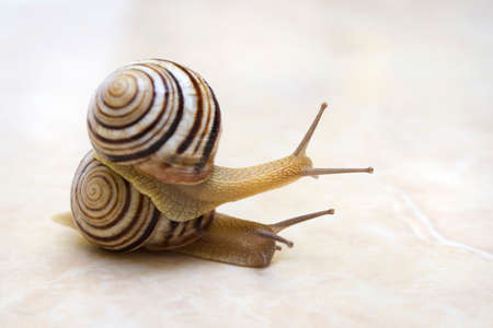 Two snail grape close-up - studio shot, biology, wild life, male and female, food Foto de archivo