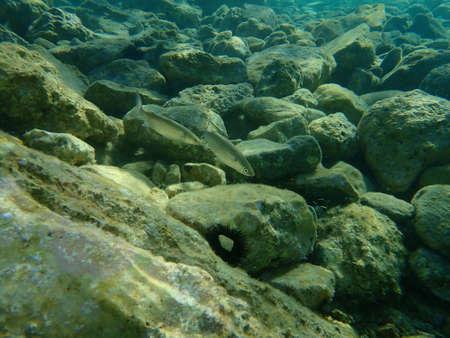 The flathead gray mullet (Mugil cephalus), Aegean Sea, Greece, Cape Sounio Standard-Bild