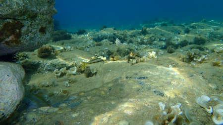 The striped red mullet or surmullet (Mullus surmuletus), Aegean Sea, Greece, Halkidiki Standard-Bild