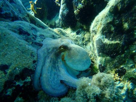 The common octopus (Octopus vulgaris), Aegean Sea, Greece, Halkidiki