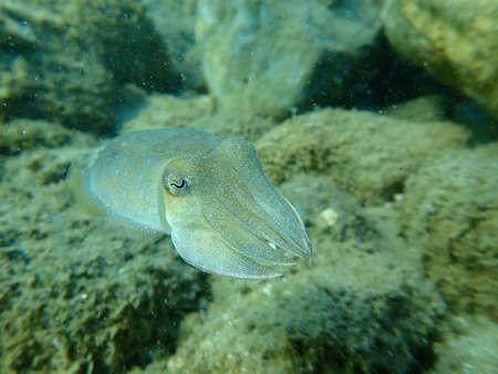 The common cuttlefish or European common cuttlefish (Sepia officinalis), Aegean Sea, Greece, Halkidiki