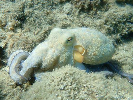 Common octopus (Octopus vulgaris) hunting, Aegean Sea, Greece, Halkidiki 版權商用圖片