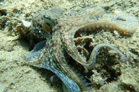 Common octopus (Octopus vulgaris) hunting, Aegean Sea, Greece, Halkidiki