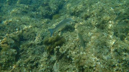 Flathead gray mullet, flathead mullet, striped mullet (Mugil cephalus) undersea, Mediterranean Sea, Cape of Antibes, France
