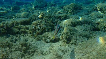 Mediterranean rainbow wrasse (Coris julis) undersea, Aegean Sea, Greece, Halkidiki