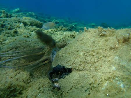 Common octopus (Octopus vulgaris) inking undersea, Aegean Sea, Greece, Halkidiki