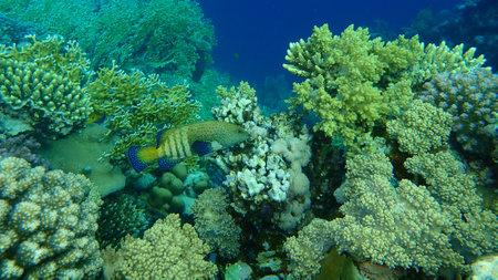 Bluespotted grouper or peacock grouper, celestial grouper, peacock hind, roi (Cephalopholis argus) undersea, Red Sea, Egypt, Sharm El Sheikh, Nabq Bay