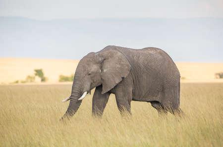 savannah: Elephant in the savannah