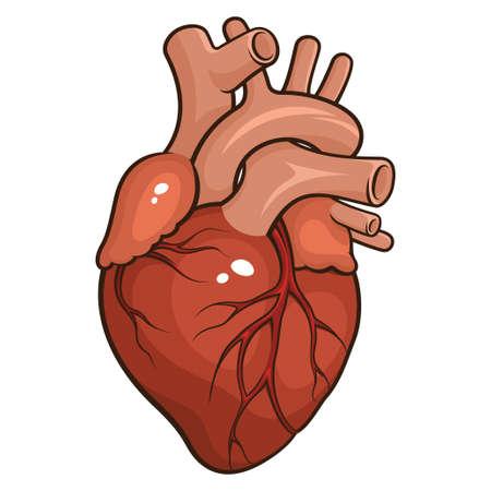Ilustración vectorial de un corazón humano aislado en un fondo blanco Foto de archivo - 27440866
