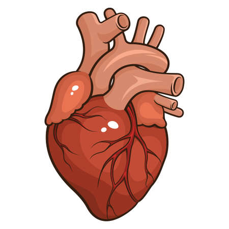 human heart anatomy: Vector illustration of a Human Heart isolated on a white background