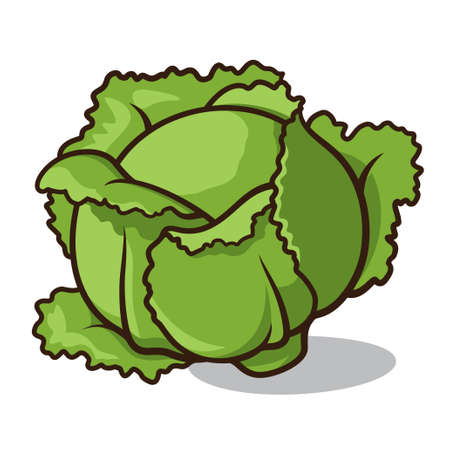 illustration of a cabbage isolated on a white background Vector