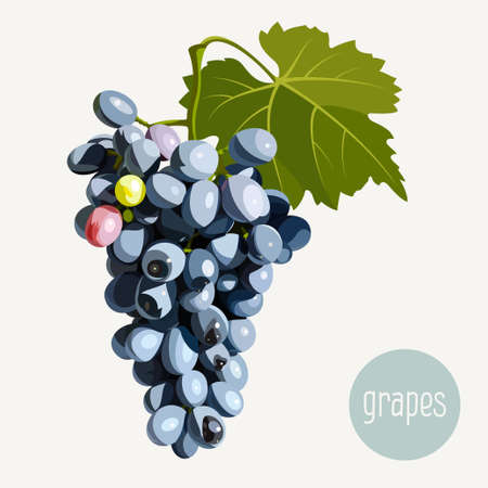 bunch of grapes: Bunch of grapes. Realistic vector illustration for your design