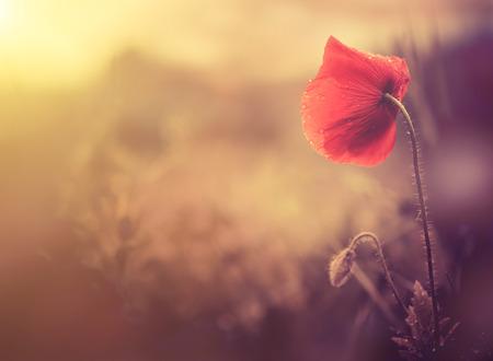 belleza: flor de amapola silvestre