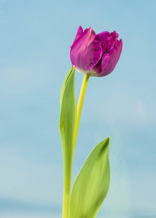 spring tulip at bue sky Stock Photo