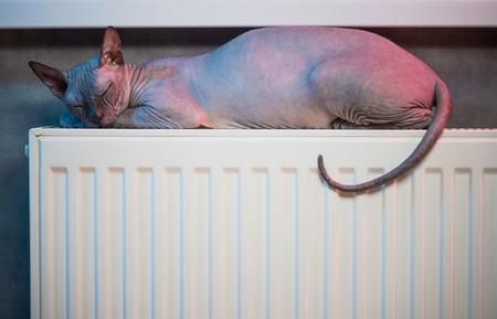 sleeping sphinx cat laying over heater