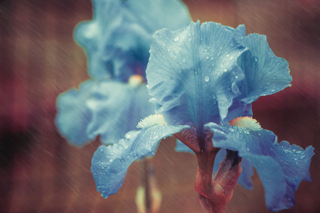 colorful iris flower with rainy drops on leafs