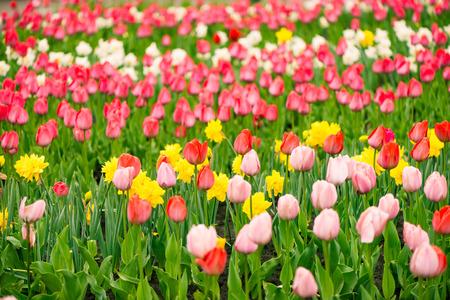 many fresh tulip flowers