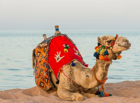 camel with decorated saddle at summer seacoast