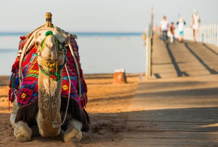 camel in colorful traditional decorated saddle