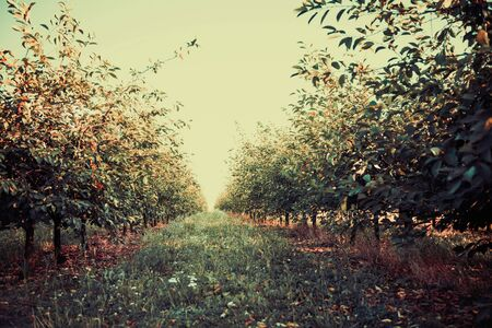 summer cherry garden trees in lines to horizon