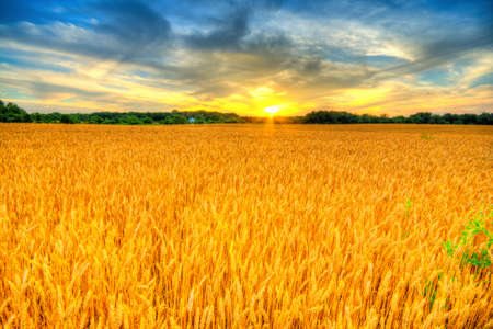 Country landscape with wheat field at sunset