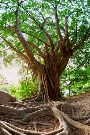 racines: Arbre tropical Banque d'images