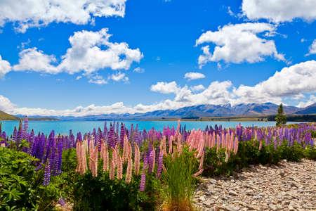 Lupin wildflowers on the shore of lake Tekapo in New Zealand