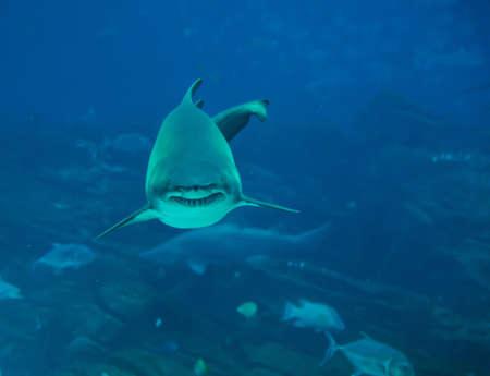 Tiger shark approaching photo