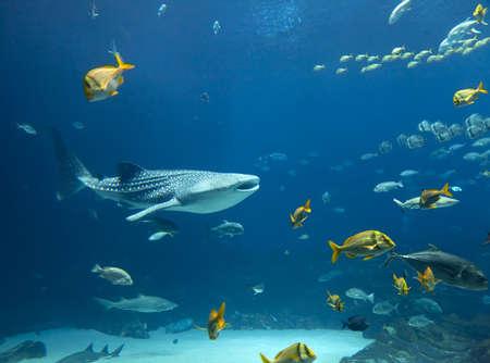ballena azul: El tiburón ballena y los bancos de peces Foto de archivo