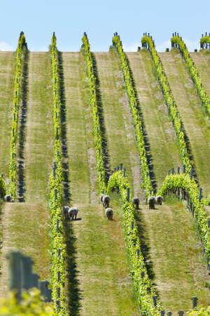 Vignoble dans la région du vin de Marlborough en Nouvelle-Zélande