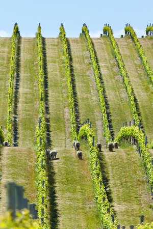Vineyard in Marlborough wine region in New Zealand  photo