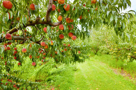 Peach boomgaard Stockfoto