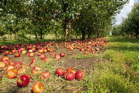 fallen fruit: Apple orchard